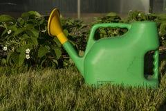 Grönt bevattna kan i buskarna av att blomstra jordgubbar Arkivfoton