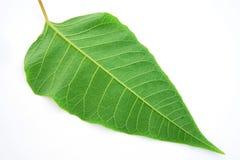 Grönt blad Arkivfoton