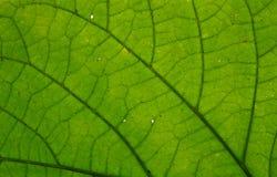 Grönt blad Royaltyfri Bild