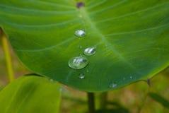 Grönt blad av caladiumen Fotografering för Bildbyråer