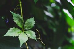Grönt blad av dekorativa druvor på en bakgrund av mörk grönska arkivbild