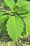 Grönt blad av den lilla växten hemma Royaltyfri Bild