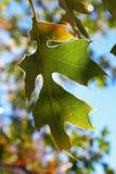 Grönt blad av den svarta eken under blå himmel Fotografering för Bildbyråer