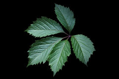Grönt blad av den Virginia rankan arkivbild