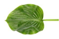 Grönt blad av det exotiska trädet som isoleras på vit bakgrund Naturligt begrepp arkivfoto