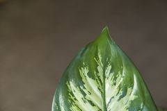 Grönt blad av Dieffenbachia Arkivbild