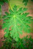 Grönt blad av ett träd Fotografering för Bildbyråer