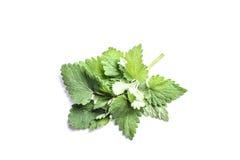 Grönt blad av Melissa på vit bakgrund arkivfoton