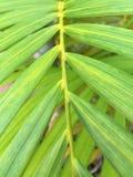Grönt blad av Monocot Arkivbilder