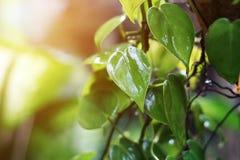 Grönt blad för Closeup som är vått i regnig dag med solljus Royaltyfria Foton