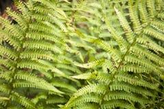 Grönt blad för friskhet av ormbunken på suddighetsbakgrund i trädgård Arkivbild