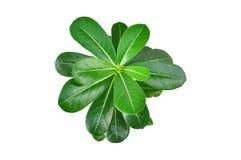 Grönt blad för isolat royaltyfri bild