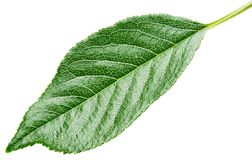 Grönt blad för körsbär som isoleras på vit royaltyfria bilder