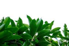 Grönt blad för mango Arkivfoto