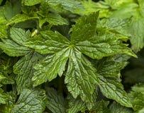 Grönt blad för Moray. royaltyfri bild