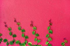 Grönt blad för murgröna på den rosa betongväggen, härlig bakgrund royaltyfria bilder