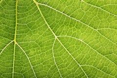 Grönt blad för närbild med modellen som bakgrund Royaltyfria Bilder