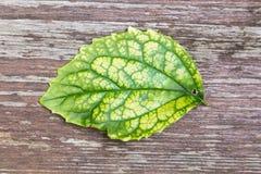 Grönt blad för singel med synliga stora åder på trä Fotografering för Bildbyråer