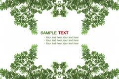 Grönt blad för textur, buske Fotografering för Bildbyråer