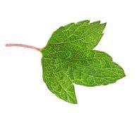 Grönt blad för vinbär royaltyfri fotografi