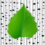 Grönt blad i en björkbakgrund Arkivfoto