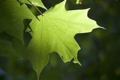 Grönt blad i solljus med regndroppar Arkivfoto