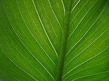 Grönt blad med åder av callaslutet upp arkivfoto