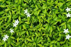 Grönt blad med den vita mycket lilla vita blomman Arkivbild
