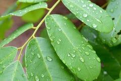 Grönt blad med droppar av regnvatten, naturbakgrund Fotografering för Bildbyråer