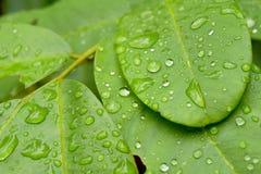 Grönt blad med droppar av regnvatten, naturbakgrund Arkivbild