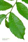 Grönt blad med droppar av vatten Fotografering för Bildbyråer