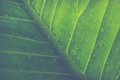 Grönt blad med droppar av vatten - abstrakt gräsplan gjorde randig natur b Fotografering för Bildbyråer