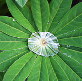 Grönt blad med droppar - lupinus Royaltyfria Bilder