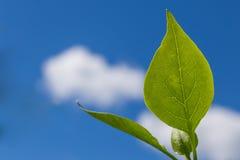 Grönt blad med en blå molnig himmel Royaltyfri Fotografi