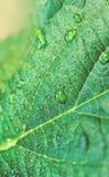 Grönt blad med freashvattensmå droppar Arkivbild