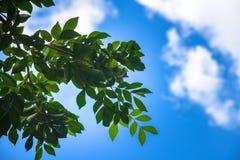 Grönt blad med himmel på ljust solsken wood trees för solljus för natur för leaf för bakgrundsskoggreen Gröna wood solljusbakgrun royaltyfri foto