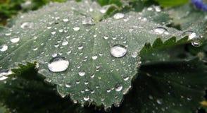 Grönt blad med många droppar av vatten royaltyfri fotografi