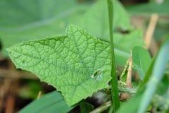 Grönt blad med päls på ogräsmellanlägget arkivbild