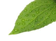Grönt blad med vattendroppar Arkivfoto