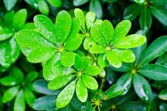 Grönt blad med vattendroppar för bakgrund Fotografering för Bildbyråer