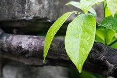 Grönt blad med vattensmå droppar Arkivbilder