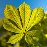 Grönt blad mot en blå himmel Royaltyfri Fotografi