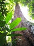 Grönt blad och högt träd Arkivfoton