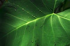 Grönt blad och tappat vatten Fotografering för Bildbyråer
