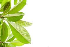 Grönt blad och vitbakgrund som isoleras Royaltyfria Foton
