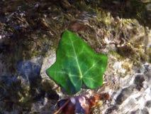 Grönt blad på botten av en flod i höst Arkivfoto