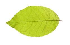 Grönt blad på en vit Arkivfoton