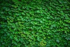 Grönt blad på väggen Arkivfoto
