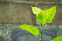 Grönt blad på väggen Fotografering för Bildbyråer