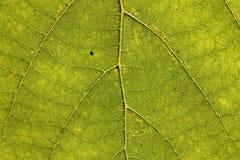 Grönt blad som bakgrund Royaltyfria Foton
